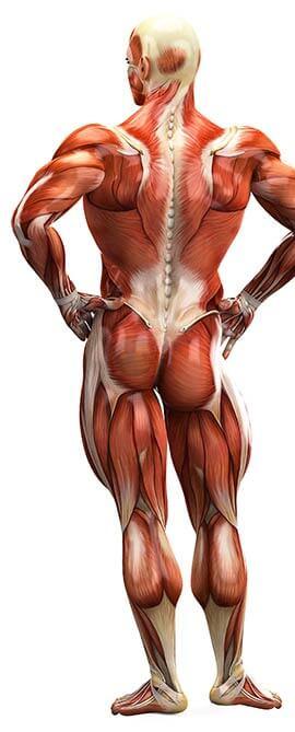 corps humain et chiropraticien
